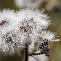 цветы :: раф