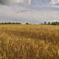 Русское поле :: Galina