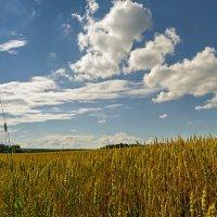 над пшеничными полями :: Galina