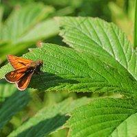 Бабочка присела на листок :: Анатолий Иргл