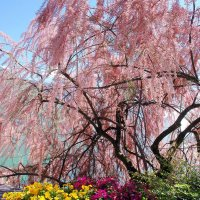 розовое облако тамариска :: Elena Wymann