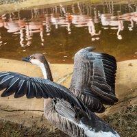 Среди фламинго и гусь благородно смотрится :: MVMarina
