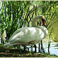 Лебедь. :: Валерия Комова