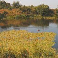 Дикие утки на Монастырском озере :: Vladimir 070549