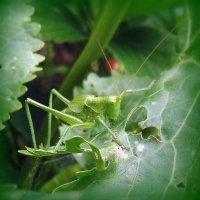 в траве сидел маленький кузнечик . :: Мила Бовкун