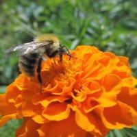 Трудяга - пчелка... :: Valentina