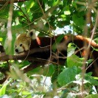 Красная панда :: Ольга Васильева