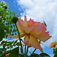"""""""Как жаль, что розы отцветают!"""" :: Galina Dzubina"""