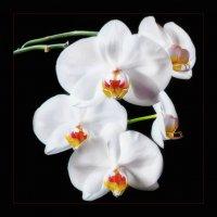 Орхидеи :: Arkady Shnayder