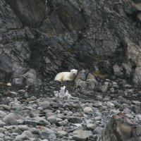 Белый мишка :: Tatiana Belyatskaya