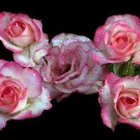 розы :: Михаил Бибичков
