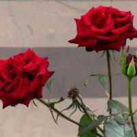 Алые розы :: Сергей Карачин