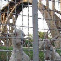 Коза в России больше, чем коза... :: Алекс Аро Аро