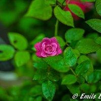 Розовая роза :: Emil Buturlin