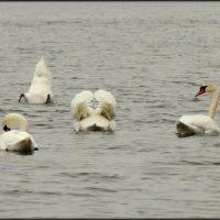 Лебеди :: Михаил Цегалко