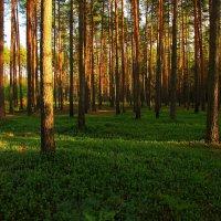 Лето в сосновом лесу :: сергей