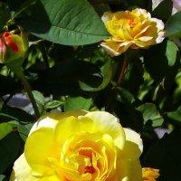 Августовские розы Фото №2 :: Владимир Бровко