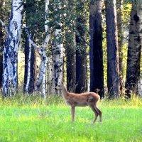 Утро в лесу, середина августа :: Геннадий Ячменев