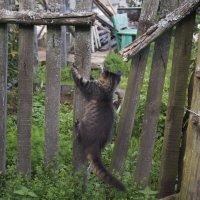 Соседский кот Васька :: Ирина Аршинова
