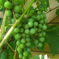 Там, где зреет виноград... :: Елена Милая