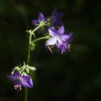 Лесные цветы :: Катерина Дмитриева