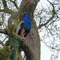 Павлин на дереве :: Асылбек Айманов