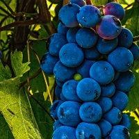 виноград :: олег