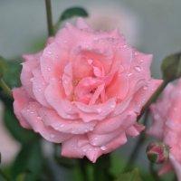 в каплях дождя :: Мария Климова