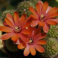 Кактус цветет :: MPS
