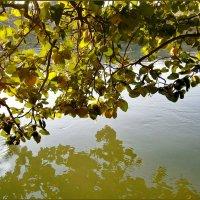 Айва над водой....любуется собою..словно в зеркале... :: Людмила Богданова (Скачко)