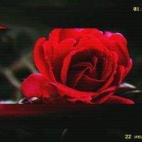 Любите розы :: Алиса Добровольская