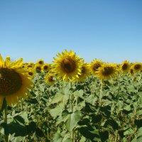 Солнечное поле... :: марина ковшова