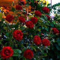 Roses :: Valeri Lubiako