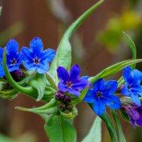 Воробейник или Эгонихон пурпурно-голубой :: Павел Руденко
