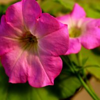 Розовые Петуньи... :: Тамара (st.tamara)