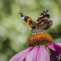 бабочка :: ник. петрович земцов