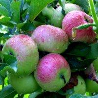 Яблоки на Спасс :: Владимир