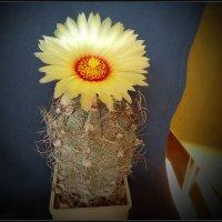 """Из серии """"Цветущие кактусы"""" 2 :: Валерий Талашов"""