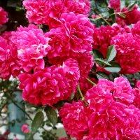 Розовый водопад :: Нина Корешкова