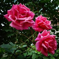 """""""...Уходит лето, по привычке согревая, Дурманя запахом еще цветущих роз…"""" :: Galina Dzubina"""