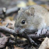 Мышь :: Ольга Мансурова