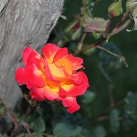 Роза :: Лина
