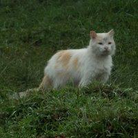 деревенский кот :: Анна