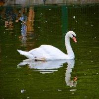 Белый лебедь :: Никита Сницарев