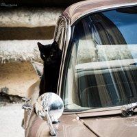 Черная кошка :: Денис Шевчук