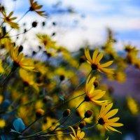 Желтые цветы :: Сергей Алексеев
