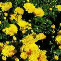 Желтые хризантемы :: Владимир Бровко