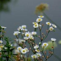луговые ромашки у озера :: Александр Прокудин