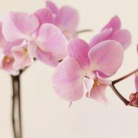 Орхидея :: Елена Савельева