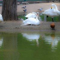 Новосибирский зоопарк. Лебединое озеро. :: Надежда Чернецкая